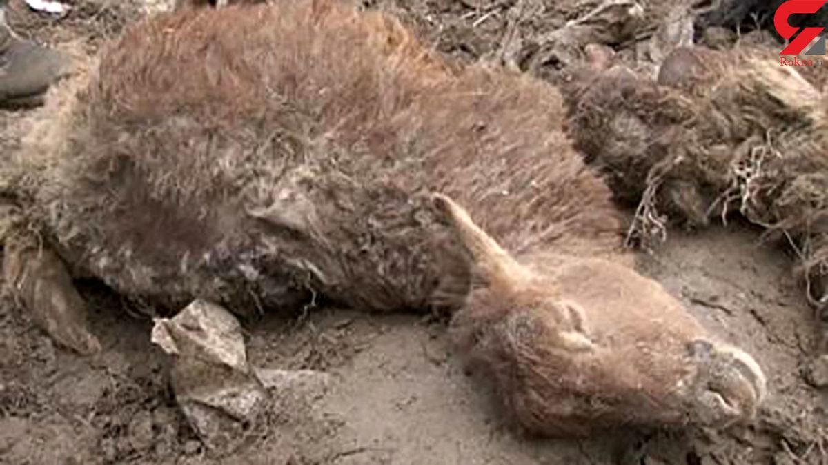 آماده باش پلیس بخاطر حمله گرگ ها در طالقان +علت