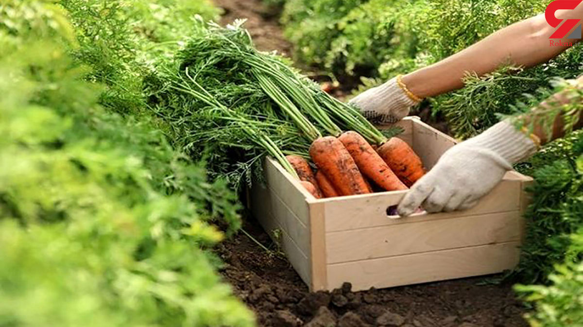 هویج هم گران شد