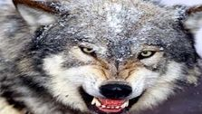 حمله ی گرگ به 5 اسفراینی آن ها را از پا در آورد+جزئیات